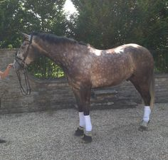 If you are looking for an Irish Sport Horse, this 17.2hh five-year-old grey gelding is currently priced at £7,500 and could be perfect for you | For sale on #HorseDeals that is way to much for me but I am helping the people find a owner.