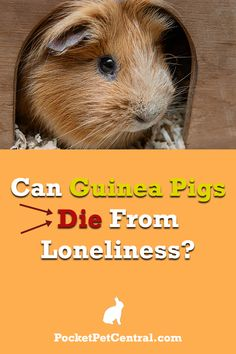 Can guinea pigs actually die from loneliness? Find the answer in this article! Pet Guinea Pigs, Guinea Pig Care, Pet Pigs, Reptile Cage, Reptile Enclosure, Guinea Pig Information, Teacup Pigs, Pocket Pet, Mini Pigs