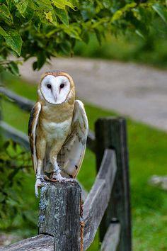 Barn Owl at the Schlitz Audubon Nature Center