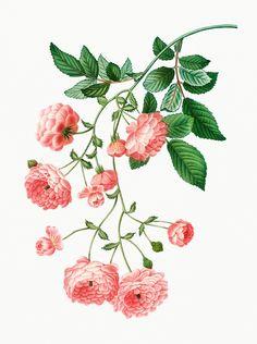 Images: search for similar images Rosa Vintage, Vintage Pink, Vintage Art, Plant Illustration, Botanical Illustration, Botanical Flowers, Botanical Prints, Rambler Rose, Beautiful Pink Roses