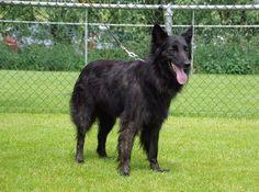 Dutch Shepherd Dog, Long Hair Styles, Pets, Animals, Animales, Animaux, Long Hairstyle, Animal, Long Haircuts