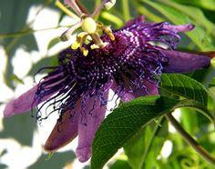How to Make Passion Flower Sleepy Tea (Recipe) - A tea that will help you to sleep