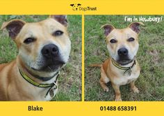Blake here from Dogs Trust Newbury loves to run and play! He is a little wiggly worm, full of beans. Loves to be with people and having cuddles. He is super friendly, and loves to learn new things. He will need some help with his basic training - but loves treats and will work hard if he knows a treat is on offer!