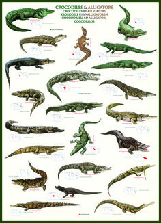 EuroGraphics Crocodiles and Alligators 1000-Piece Puzzle. More than 20 species of crocodiles and alligators are represented on this