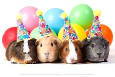 Guinea pig birthday party! #HappyBirthday #nationaldressupyourpetday