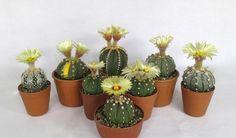 Astrophytum flowering