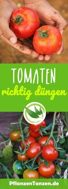 How to get the perfect tomatoes - Fertilize the tomatoes properly - how it works -. How to get the perfect tomatoes - Fertilize the tomatoes properly - how it works -.