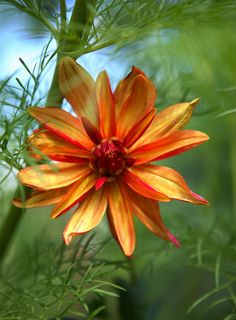 A large, lovely flower the color of autumn. Orange and yellow