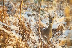 Roe Deer in Pamber Forest. Wintery conditions can really make an image Deer Photography, Roe Deer, Winter Wonderland, Wildlife, Ice, Gold, Animals, Animales, Animaux