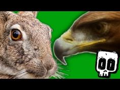 Golden Eagle vs Hare: Deadliest Showdowns (Ep 7) - Earth Unplugged - http://petcarecheap.com/golden-eagle-vs-hare-deadliest-showdowns-ep-7-earth-unplugged/