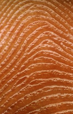 close-up on the ridges and grooves of a human fingerprint. This close-up on the ridges and grooves of a human fingerprint.