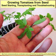 Tomato Mania – Seed Starting Basics, Transplanting and Troubleshooting