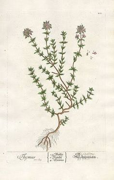 thyme botanical - Google'da Ara