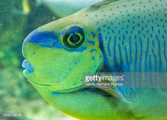 Stock Photo : Bignose unicornfish.Naso vlamingii