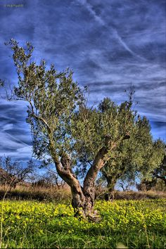 Olivos    Olivos, almendros y algarrobos son los tres tipicos arboles de secano en el Mediterraneo.