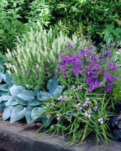 Mixed, Geranium, Veronica, Tradescantia, Hosta