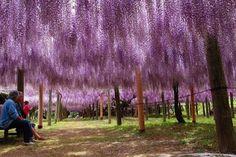 ネット不動産リヨンのスタッフブログ: 5月 2011 Wisteria Japan, Vineyard, City, World, Garden, Flowers, Outdoor, Ideas, Nature