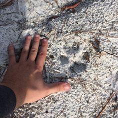 Red wolf print on St. Vincent National Wildlife Refuge! Photo by Zach Steinhauser