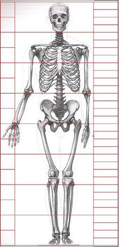 -Skeleton Anatomy