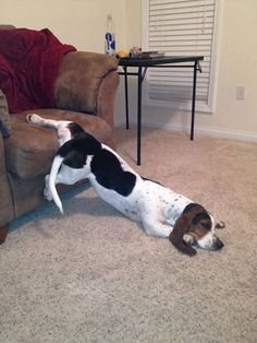 Not good for a Basset Hound. Prone to back problems.