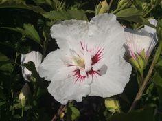 Hibiscus Bali Hibiscus, Bali, Plants, Shrubs, Planters, Plant, Planting