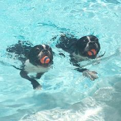 Two Boston Terrier Dogs Swimming Side by Side with their Balls in the Pool! ► http://www.bterrier.com/?p=29251 - https://www.facebook.com/bterrierdogs