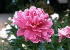 Google Image Result for http://www.jnjservices.com/photo/scenic_views/Peony.jpg