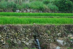 The above photo shows the layers of the terraced rice paddies of Cheongsando Island. Farmers build a layer of gravel covered with flat stones, allowing the water to flow through it. They then build a layer of soil on top where they grow the rice. (photo courtesy of Wando County)