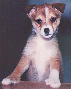 72 Best Norwegian Lundehund Images Dog Breeds Norway Cut Animals