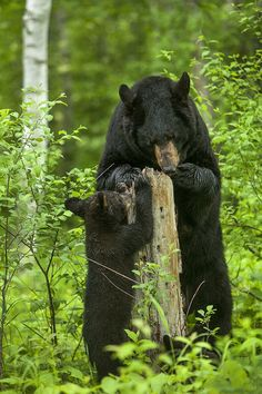 """Mother Black Bear with cub . """"and then you pull the rotten wood away . see those tiny ants? lick 'em up . make sure and get the ones on your paws . they taste rather sweet! Animals And Pets, Baby Animals, Cute Animals, Baby Pandas, Wild Animals, Bear Pictures, Animal Pictures, Ours Grizzly, Grizzly Bears"""