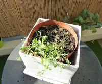 Gemüse & Naschen: Mohn aus Samenkugeln wieder erfolglos