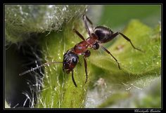 Ants fall in the Phylum Arhtropoda. Unique characteristic about ants is that there are more of them in a species than any other.