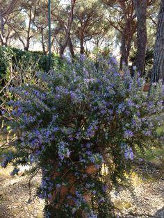 Rosemary blooming