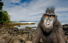 Macaques live in many different habitats across the globe, making them the most widely distributed genus of nonhuman primates. Photo by: Stefano Unterthiner