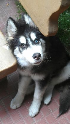 and there will be a husky pup named Aston