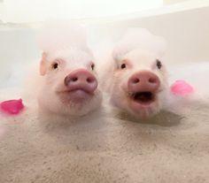 #famous #instagram #pigs