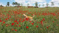 Mi perra Leti en un campo de amapolas, Madrid. Una hermosa flor entre flores. Foto: Almu Gutiérrez. [Envía tu foto por correo mailto: zona20@20minutos.es o por twitter #Primavera20m]