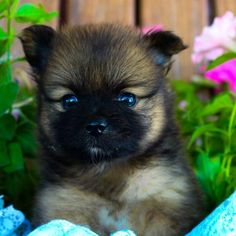 Benji - Pomeranian puppy for sale in Grabill, Indiana German Shepherd For Sale, Female German Shepherd, Cute German Shepherd Puppies, Pomeranian Puppy For Sale, Cute Pomeranian, Cheap Puppies, Puppies For Sale, Premium Dog Food, Getting A Puppy
