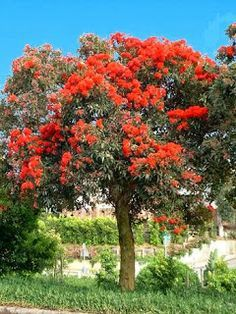 dwarf red gum - Google Search