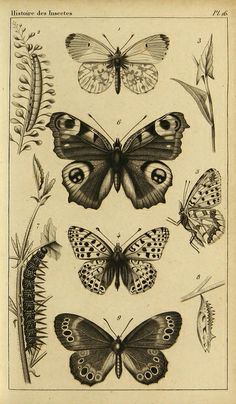 Le plus récent Pic butterfly Drawing Concepts Illustration Papillon, Butterfly Illustration, Botanical Illustration, Illustration Art, Illustrations, Pfau Tattoo, Art Papillon, Butterfly Art, Butterflies