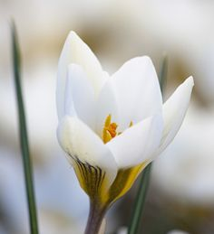 Crocus 'Snow Bunting is the most delicate white crocus with deep purple brush stroke markings.