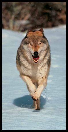 Gray wolf - pg.45  Controlla su http://www.zenoarte.com/stampe-poster-roma/ i formati in cui può essere stampata