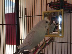 Whether budgies and mirrors is a bad mix can be a hotly contested budgie issue. We recently decided to get mirrors for our budgies and here's what happened Parakeets, Parrots, Parakeet Care, Pet Bird Cage, Birds, Shit Happens, Mirror, Pets, Pictures