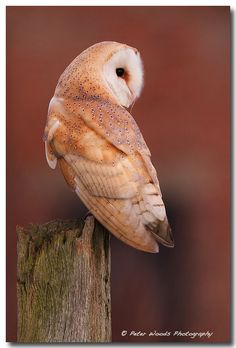 Early Morning Barn Owl by Peter Woods