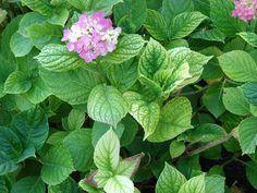 Hydrangea with iron chlorosis.