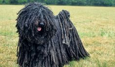 The beautiful Puli, a corded Hungarian herding breed, has even charmed Facebook founder Mark Zuckerberg.
