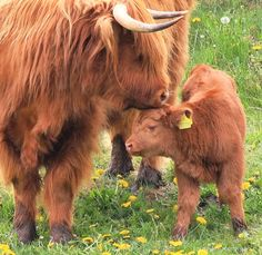 A Tender Moment. Highland cattle in Scotland...I want this breed of cow on our farm