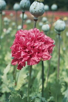 Check out the deal on Papaver (Poppy) paeoniflorum Bombast Red seeds at Hazzard's Seeds Poppy Flower Seeds, Poppy Flowers, Perennial Vegetables, Red Peonies, Ornamental Grasses, Front Yard Landscaping, Pretty Flowers, Perennials, Poppies