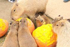 カピバラ #capybara