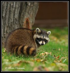 Raccoon by Ptimac.deviantart.com on @deviantART